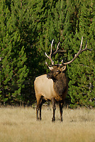 Rocky Mountain Bull Elk (Cervus elaphus).  Rocky Mountain area.  Fall.
