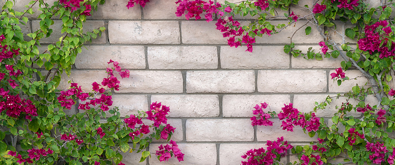 Close up of wall with blooming bougainvillea. Palm Spprings, California,heart shaped,heart