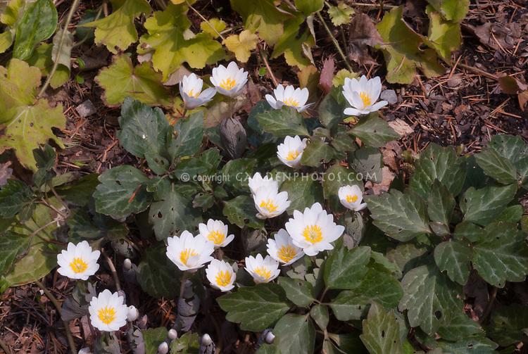 Sanguinaria canadensis - Tennessee form, Pachysandra procumbens 'Eco Picture Leaf', Heuchera