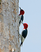 Two adult male red-headed woodpeckers engaged in fight at nest hole tree. These two male birds fought for 30 minutes even locking claws in midair and tumbling to ground 3 times while the female watched.