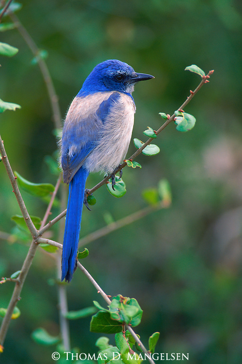 Western Scrub Jay perched on a small tree in Bosque del Apache.