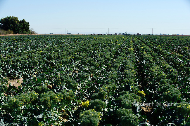 Broccoli field in the Imperial Valley of California