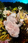A giant frogfish, Antennarius commersonii, nestled in amongst soft corals and crinoids at Cannibal Rock, Rinca Island, Komodo National Park, Indonesia