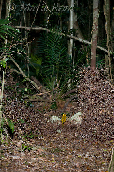 Golden Bowerbird (Prionodura newtoniana), overview of bower with male present, Paluma Range, Queensland, Australia.