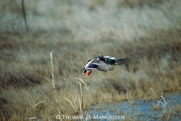 Mallard duck landing in autumn.
