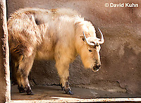 0603-1102  Takin (Goat Antelope), Budorcas taxicolor  © David Kuhn/Dwight Kuhn Photography
