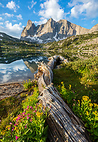 Wind River Range, WY: Flowering groundsel, monkeyflower and asters alongside fallen log at Lonesome Lake with morning light on Warrior Peaks and War Bonnet in the Cirque of the Towers; Bridger Wilderness in the Bridger National Forest