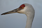 Sandhill Crane, one of North America's largest birds.