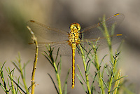 362740002 a wild female saffron-winged meadowhawk sympetrum costiferum perches on a plant stem along the owens river benton crossing road mono county california