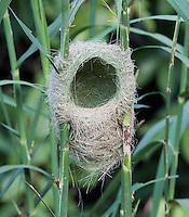 Weaver bird nest in the Masai Mara, Kenya