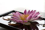 Water lily, Lalu Hotel, Sun Moon Lake, Taiwan