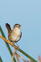 Male Marsh Wren (Cistothorus palustris) territorial singing in spring.  Western U.S.