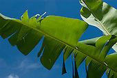 Xingu Indigenous Park, Mato Grosso State, Brazil. Aldeia Tres Irmaos (Kaiabi). Banana leaves against a clear blue sky.