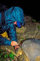 U. Queensland grad. student Kendra Coufal draws blood sample from Australian flatback sea turtle, Natator depressus, to test for environmental pollutants, Curtis Island, Qld., Australia