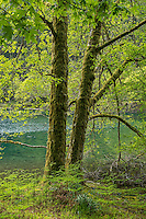 Bigleaf Maple Trees and ferns along Lake Crescent, Olympic National Park