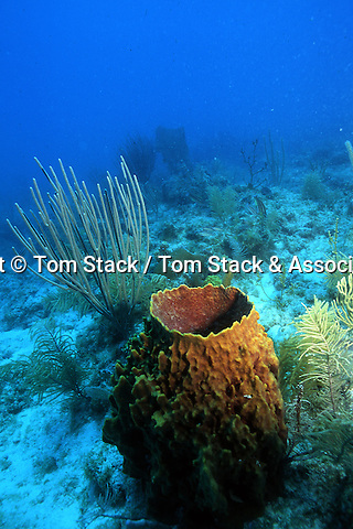 Deep reef scene with a Leathery Barrel Sponge & Gorgonian coral, Biscayne National Park,..Florida Keys