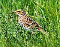 Savannah sparrow