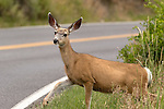 Mule deer crossing the road in Yellowstone National Park