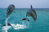 Common Bottlenose Dolphins or Bottle-nosed dolphins (Tursiops truncalus).Honduras