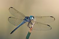 389130003 a male gray-waisted skimmer dragonfly cannaphila insularis a rare odonate found in breckenridge park san antonio texas