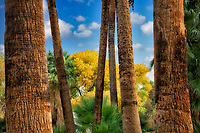 Palm trees, and fall colored cottonwood trees in Andreas Canyon. Palm Springs, California