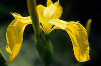 Yellow Iris ( iris pseudacorus ) Closeup of yellow flower petals.