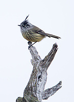 The Tufted tit-tyrant is one of the more distinct small bird species found in Torres del Paine.