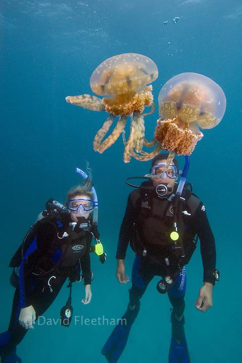 Stinging jellyfish, Mastigias papua and divers (MR).  Palau, Micronesia.