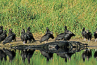 Black Vulture, Coragyps atratus, adults with Alligator, Myakka River State Park, Florida, USA, Dezember 1998