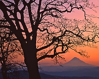 Mt Hood framed by oak tree in Columbia River Gorge National Scenic Area Oregon