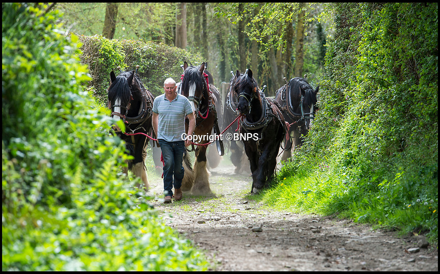 BNPS.co.uk (01202 558833)<br /> Pic: PhilYeomans/BNPS<br /> <br /> The times they are not changing down on Johnathan Waterer's Devon farm.<br /> <br /> He still uses a team of magnificent Shire horses to work his 100 acre property near Barnstaple, just as it was done for hundreds of years before the arrival of the internal combustion engine.<br /> <br /> His magnificent heavy horses - which weigh nearly a ton and can be well over 6ft at the shoulder - are much cheaper to run than gas guzzling tractors, as Mr Waterer grows oats to feed them and the only other food they need is grass.<br /> <br /> Mr Waterer says 'the traditional methods may be more time consuming, but I feel it is part of our identity and we can reap the benefits'