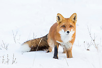 Portrait of red fox on the snow covered tundra of Alaska's Arctic North Slope.