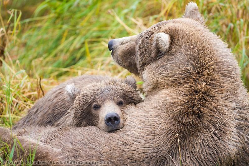 Brown bear sow and cub take a nap, Katmai National Park, Alaska.