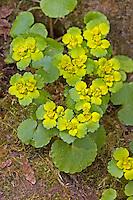 Wechselblättriges Milzkraut, Gold-Milzkraut, Chrysosplenium alternifolium, Golden Saxifrage