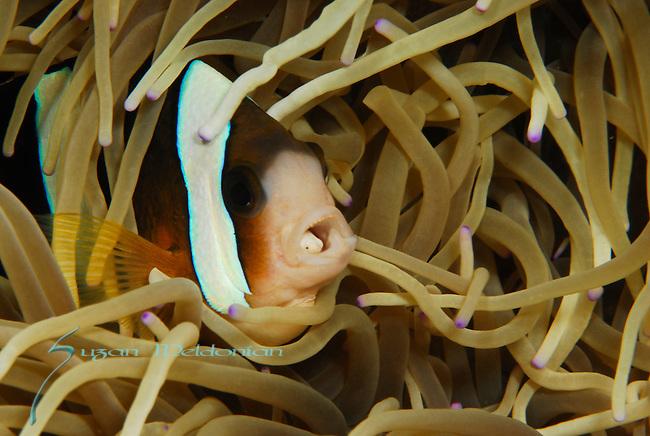 Anemone fish w Parasite , Lembeh Straits, Sulawesi Sea, Indonesia, Amazing Underwater Photography