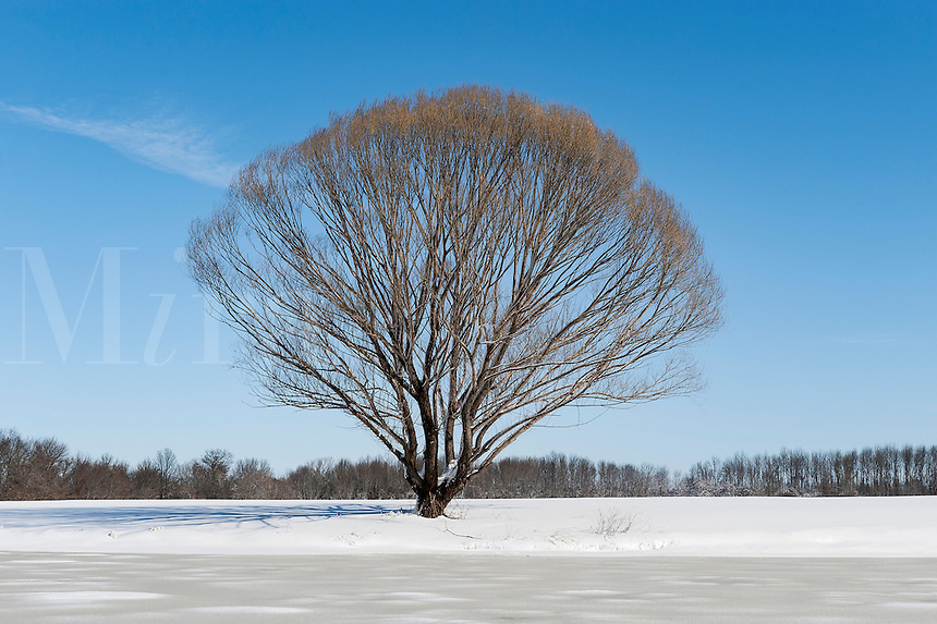 Tree in winter snow, New Jersey, USA.