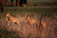 Karen Sussman with International Society for the Protection of Mustangs and Burros--the organization that Wild Horse Annie started when lobbying congress in the '70s to save mustangs and burros. Gila Herd were rescued off land in Arizona.  They are bay colored with a dark mane and shorter broom tail.  They other distinctive markings are small stripes on the lower legs and a dark dorsal stripe.  The original 31 horses were gathered in 1999 the BLM.  Local ranchers recall the horses hiding in the Salt Cedar in 1904.  They have been tested genetically and are remnants of the horses from the Spanish conquistadors.
