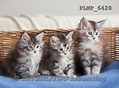 Marek, ANIMALS, REALISTISCHE TIERE, ANIMALES REALISTICOS, cats, photos+++++,PLMP6428,#a#
