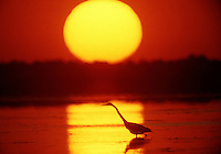 An egret looks for dinnet at sunset in Merritt Island, FL.  (Photo by Brian Cleary/www.bcpix.com)