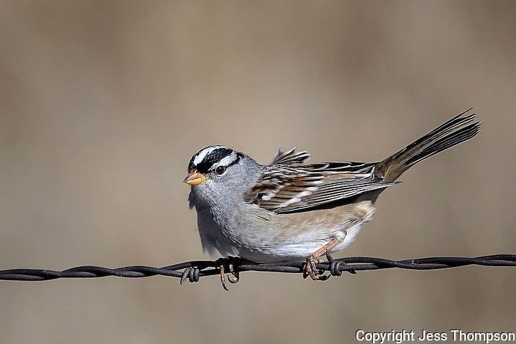 White-crowned Sparrow, Pawnee National Grasslands, Colorado