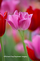 63821-22815 Red and pink tulips, Cantigny Park, Wheaton, IL