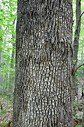 Bark of a mature White Ash - (Fraxinus americana) - along the Attitash Trail in Bartlett, New Hampshire USA.