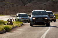 Tourists take photos of bighorn sheep along a roadway in Badlands National Park, South Dakota on Saturday, May 20, 2017. (Photo by James Brosher)