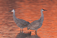 Sandhill Cranes (Grus canadensis) and fire orange glow from reflected sunlight at dawn