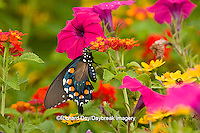 03004-00902 Pipevine Swallowtail (Battus philenor) on Red Spread Lantana (Lantana camara) in butterfly garden, Marion Co.  IL