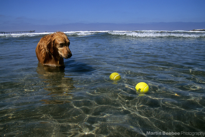 A golden retriever eyes a pair of tennis balls at Dog Beach, San Diego, California