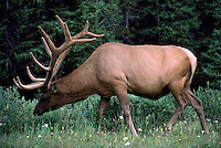 Canadian Rockies, Canada - Bull Elk, Wapiti (Cervus canadensis) grazing in Forest Meadow