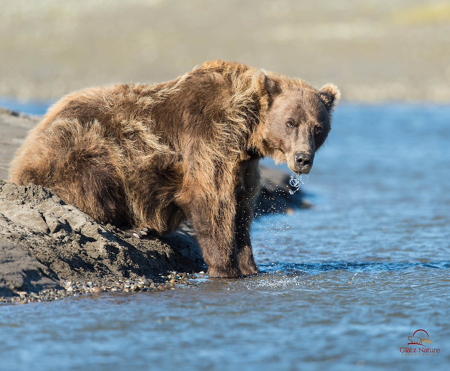 Mature Brown Bear (Ursus arctos) female blows bubbles after taking a drink of water, Lake Clark National Park, Alaska.