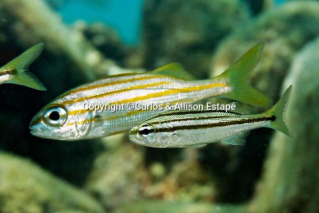 Haemulon chrysargyreum, Smallmouth grunt, Florida Keys