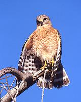Red-shouldered hawk in the Everglades National Park, Florida